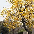 黃金風鈴木 (155)