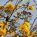 黃金風鈴木 (174)