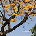 黃金風鈴木 (291)