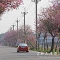 土庫櫻花大道 (72)