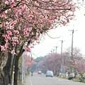 土庫櫻花大道 (73)