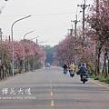 土庫櫻花大道 (77)