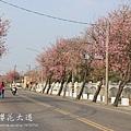 土庫櫻花大道 (78)
