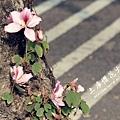 土庫櫻花大道 (94)