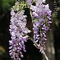 梅峰農場紫藤花 (3)