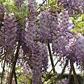 梅峰農場紫藤花 (6)