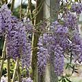 梅峰農場紫藤花 (7)