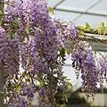梅峰農場紫藤花 (8)