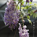 梅峰農場紫藤花 (10)