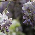 梅峰農場紫藤花 (12)