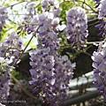 梅峰農場紫藤花 (11)