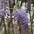 梅峰農場紫藤花 (14)