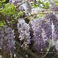 梅峰農場紫藤花 (15)