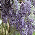 梅峰農場紫藤花 (13)