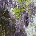 梅峰農場紫藤花 (16)