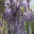 梅峰農場紫藤花 (17)