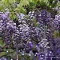 清境星巴克小瑞士花園 (52)