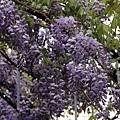 清境星巴克小瑞士花園 (65)