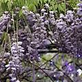 清境星巴克小瑞士花園 (66)