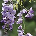 清境星巴克小瑞士花園 (74)