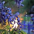 清境星巴克小瑞士花園 (224)