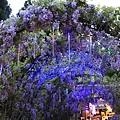 清境星巴克小瑞士花園 (228)