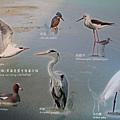 七股黑面琵鷺保育中心 (61)