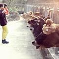 大山牧場大象牛排 (37)