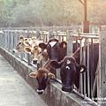 大山牧場大象牛排 (39)