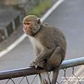 烏山獼猴保護區草山月世界 (37).JPG