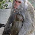 烏山獼猴保護區草山月世界 (55).JPG