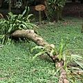 台大竹山實驗林下坪熱帶植物園 (37)