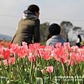 中社花市鬱金香花季 (11)