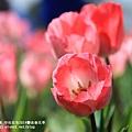 中社花市鬱金香花季 (15)