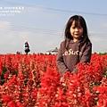 中社花市鬱金香花季 (83)