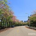 粉紅風鈴木 (91).JPG
