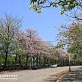 粉紅風鈴木 (99).JPG