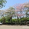 粉紅風鈴木 (106).JPG