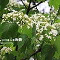 藤山園油桐花開 (3).JPG