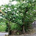 藤山園油桐花開 (14).JPG