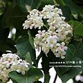 藤山園油桐花開 (34).JPG
