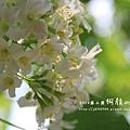 藤山園油桐花開 (59).JPG