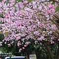 溪湖糖廠印度櫻花&苦楝 (107).JPG