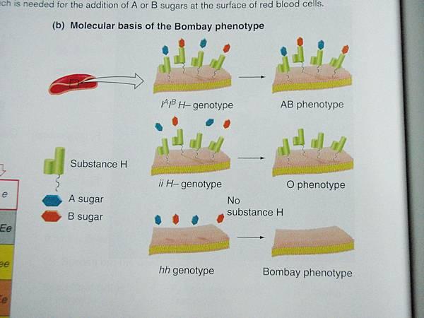孟買血型原理說明