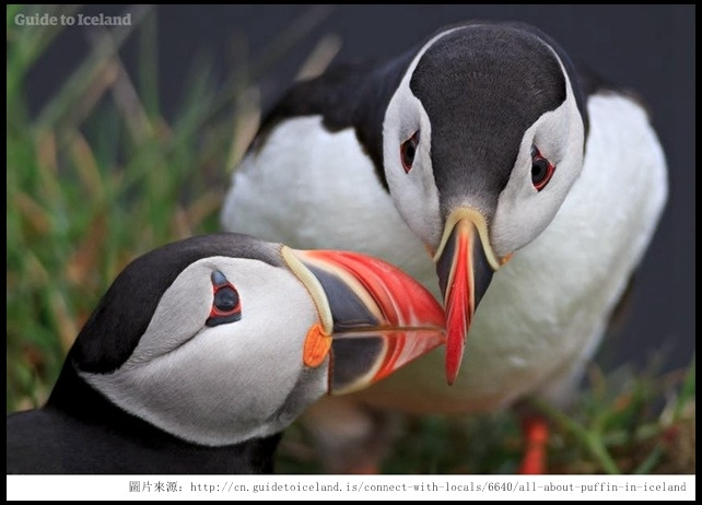00_Puffin_ Guide to iceland.jpg