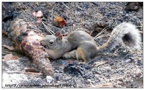 Mariposa Grove - 松鼠