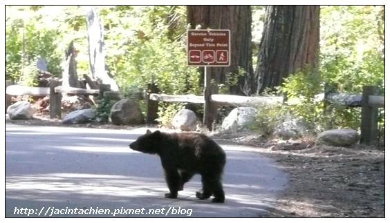 Yosemite優勝美地-bear-2