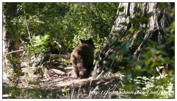Yosemite優勝美地-bear-3