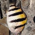 雀鯛8.JPG