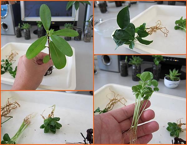 04植物-瓊崖海棠+柚子+籣嶼山馬茶+寶草.jpg